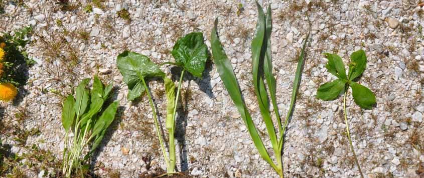 Bärlauch, Aronstab, Herbstzeitlose, Maiglöckchen11