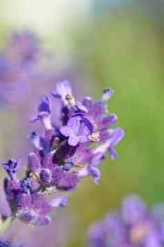 Lavandula angustifolia (3 von 3)