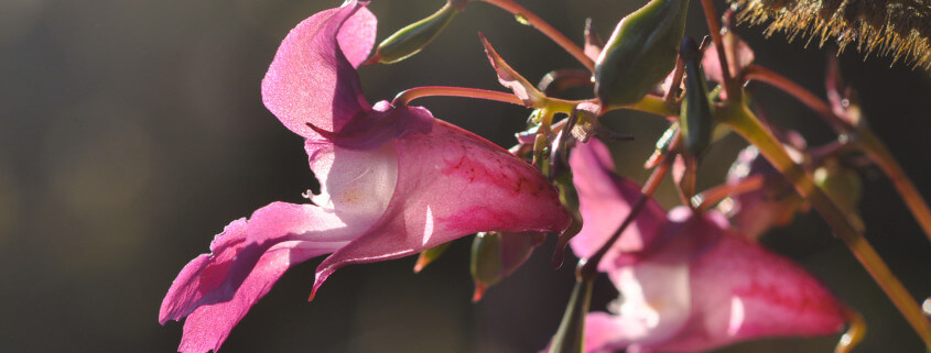 Impatiens glandulifera, Indisches Springkraut als Essbare Wildpflanze