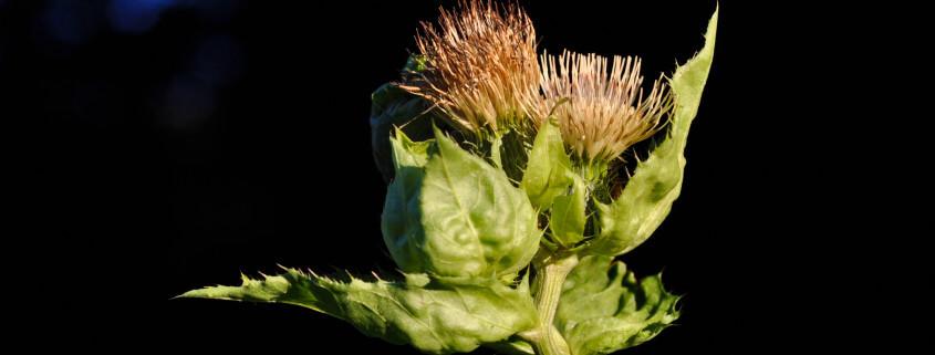 Cirsium oleraceum, Kohl-Distel, Gemüse-Distel