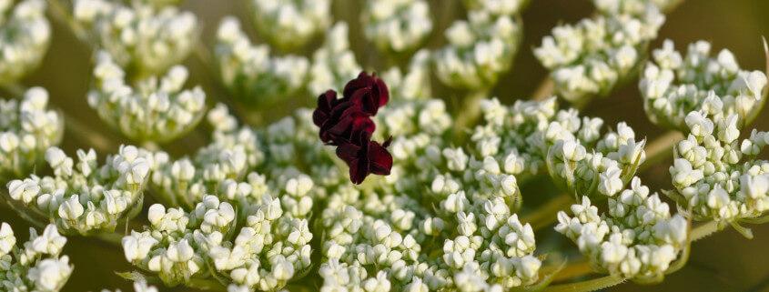Daucus carota, Wilde Möhre