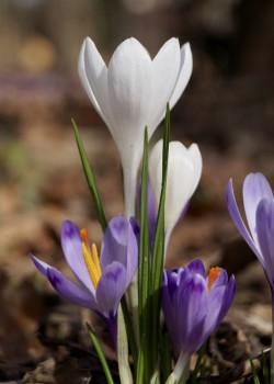 Weiße Form des Frühlings-Krokus (Crocus albiflorus)