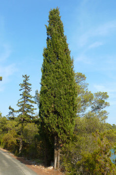 Cupressus sempervirens, Toscana-Zypresse