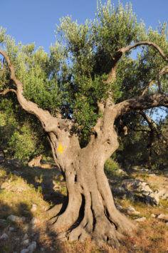 1000-jährige Olivenbäume bei Lun auf der Insel Pag (Kroatien)