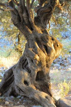 über 1000-jähriger Olivenbaum bei Lun auf Pag (Kroatien)