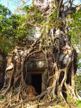 von Würgefeige umschlossener Tempel in Koh Ker nördlich von Angkor, Kambodscha. Mit Alfred Zenz Jun.