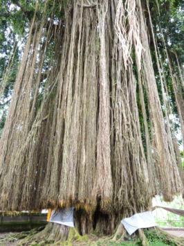 Luftwurzeln des Banyan-Baums (Ficus benghalensis)